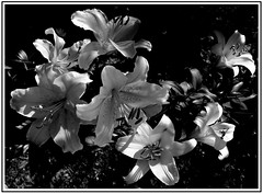 Lilie B&W. (andrzejskałuba) Tags: poland polska pieszyce dolnyśląsk silesia sudety europe plant plants roślina rośliny lato lilia lily lilie lilies macro monochrome natura nature natural natureshot natureworld nikoncoolpixb500 naturephotographer nopeople focusonforeground beautiful beauty biały beautyofnature black blackwhite bw kwiat kwiaty flower flora floral cień czarny ogród outdoor white day shadow 1000v40f 1500v60f