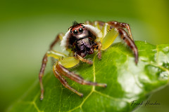 Monkey Faced Spider (Mopsus mormon) (F.Hendre) Tags: monkeyfacedspider mopsusmormon spider jumpingspider arachnid macro ngc