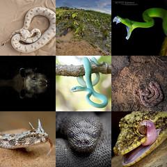 Best of 2019 (Matthieu Berroneau) Tags: amphibians amphibien amphibia reptile lizard snake serpente serpent serpiente best meilleur vote selection 2019 year année