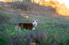 Christmas in Waimea 2019 51 (JUNEAU BISCUITS) Tags: siberianhusky husky sunset dog pet hawaii hawaiiphotographer sonya7riii sony mansbestfriend alaskanmalamute waimea bigisland kamuela