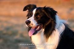 Border Collie (2) (annamarias.) Tags: hütehund herdingdog stockdog border bordercollie collie portraitdog dog workingdog