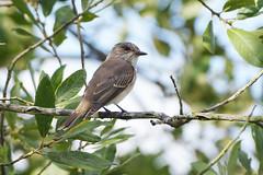 K32P3874aa  Spotted Flycatcher, Lackford Lakes, September 2019 (bobchappell55) Tags: lackfordlakes muscicapastriata suffolk bird nature spottedflycatcher wild wildlife