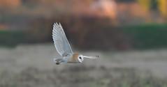 Barn Owl (KHR Images) Tags: barnowl barn owl tytoalba wild bird birdofprey flying hunting cambridgeshire fens wildlife nature nikon d500 kevinrobson khrimages