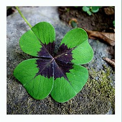For good luck in the New Year 2020 ! (majka44) Tags: fourleaf clover green macro card wish luck macroworld leaf nature