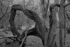 Tortured (Ian Robin Jackson) Tags: trees shapes december aberdeenshire blackandwhite tree dying scottish nature outside scary atmospheric tortured imagination landscape wood aged gnarled twisted