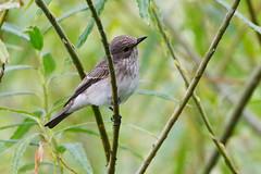 K32P3860aa Spotted Flycatcher, Lackford Lakes, September 2019 (bobchappell55) Tags: lackfordlakes muscicapastriata suffolk bird nature spottedflycatcher wild wildlife