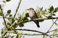 K32P3792aa  Spotted Flycatcher, Lackford Lakes, September 2019 (bobchappell55) Tags: lackfordlakes muscicapastriata suffolk bird nature spottedflycatcher wild wildlife