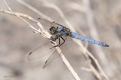 Orthetrum brunneum (Fonscolombe, 1837) (ajmtster) Tags: macro macrofotografía insecto insectos invertebrados libelulas odonatos orthetrum brunneum orthetrumbrunneum macho male amt dragonflies dragonfly