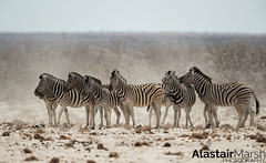 Zebras (Alastair Marsh Photography) Tags: zebra zebras etosha nationalpark etoshanationalpark desert vast africa africanwildlife africanmammal africanmammals salt saltpan pan dust greatwhiteplace mammals mammal animal animals animalsintheirlandscape wildlife namibia nature naturereserve photography travelphotography wildlifephotography travel