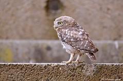 Civetta _011 (Rolando CRINITI) Tags: civetta rapaci uccelli uccello birds ornitologia avifauna rapacinotturni castellapertole natura