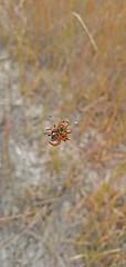 Austracantha minax_2 (Tony Markham) Tags: austracanthaminax jewelspider christmasspider spider arachnid lake wetland ramsar culburrabeach shoalhaven berejiklianbushfires lakewollumboola