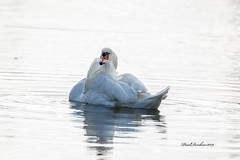 Mute Swan grooming (psdenbow) Tags: muteswan maryland canon tamron tamron150600