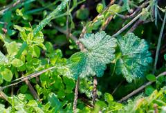 Escarcha (Miguel Ángel Prieto Ciudad) Tags: hoarfrost frost dew green plant close sonyalpha alpha3000 wild nature