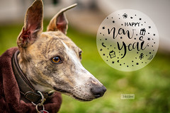 Happy New Year! (P.Höcherl) Tags: 2019 sony a6400 sel50f18f 50mm amy dog tier animal hund whippet greyhound sighthound windhund greetings newyear