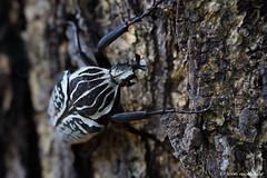 Goliath Beatle (Goliathus albosignatus) (leendert3) Tags: leonmolenaar southafrica phalaborwa limpopoprovince insects goliathbeatle ngc npc
