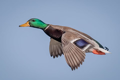 Just a Mallard landing (tresed47) Tags: 2019 201912dec 20191212eastmaylandbirds birds cambridge canon7dmkii content december ducks fall flightshot folder general mallard maryland peterscamera petersphotos places season takenby us