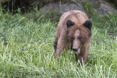 Grizzly up close (tmeallen) Tags: grizzlybear youngadult sedgegrassmeadow chewing springtime feeding edgeofforest catchlight brighteyes lookingatcamera coastalbc pacificnorthwest wilderness remotearea khutzeymateengrizzlybearsanctuary estuary khutzeymateeninlet britishcolumbia ursusarctos