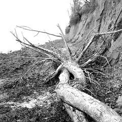 driftwood (salparadise666) Tags: rolleiflex sl 66 planar 80mm orange filter fomapan 100 boxspeed caffenol cl 40min nils volkmer slr medium format analogue 6x6 square landscape coastline contrast gollwitz poel wismar mecklenburg vorpommern germany