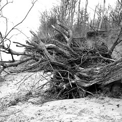roots (salparadise666) Tags: rolleiflex sl66 planar 80mm orange filter fomapan 100 boxspeed caffenol cl 40min nils volkmer analogue medium format 6x6 square landscape gollwitz wismar mecklenburg vorpommern germany