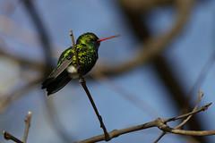 Picaflor - Hummingbird (Ce Rey) Tags: bird birds ave aves picaflor colibrí hummingbird wildlife nature naturaleza birdwatching avesargentinas birdlife