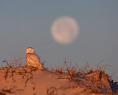 New Years Eve Ball Drop... (DTT67) Tags: nature canon wildlife owl newyearseve snowyowl bird canon5dmkiv 5dmkiv