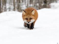 ''Bilan 2019!'' Renarde (pascaleforest) Tags: passion bilan 2019 nikon nature wild widlife faune québec canada renarde fox snow neige