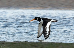 Incoming Oyster Catcher (Steve (Hooky) Waddingham) Tags: animal countryside coast canon bird british nature northumberland wild wildlife wader photography planet