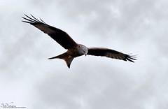 Red Kite (Steve (Hooky) Waddingham) Tags: animal countryside coast canon bird british nature northumberland red kite wild wildlife prey raptor flight