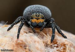 Eresus kollari (Isaiah Rosales) Tags: ladybirdspider arachnid spider macro macrophotography ngc gandanameno arachnology olympus m5mark2 invert invertebrate animal