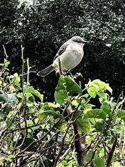 Mockingbird high on the day! (jungle mama) Tags: mockingbird bird bush wing beak biscayneparkflorida susanfordcollins statebirdofflorida mimuspolyglottos passerine miimidae coth5