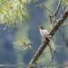 Mistle Thrush (Turdus viscivorus)