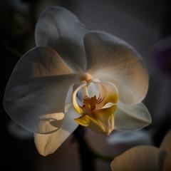 Happy New Year! (wbhmatthies) Tags: orchid backlighting backlit frontlit sidelit panasonic panasonics1 gcs1 captureonepro20