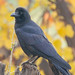 Large-billed Crow (Corvus macrorhynchos)