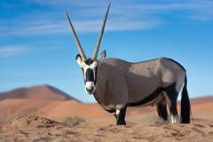 Oryx at the Dunes (ricgillams) Tags: oryx namibia desert dunes wildlife sand nature africa antelope animal sousselvlei namib