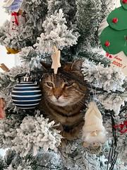 Christmas Cat (fotomie2009) Tags: feast wishes auguri fine anno happy new year 2020 cat gatto animal fauna feline felino albero natale christmas tree decoration eyes