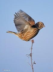 Linnet (Female) (Geoffrey Hawkins 48) Tags: linnet female coastal bushes trees finch commons heathlands farmland hedges