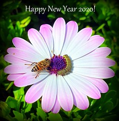 Happy New Year 2020!! (Ioannis Ks) Tags: flower insects osteospermum bee garden winter nature crete