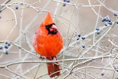 Northern Cardinal Feeding on Wild Berries (Anne Ahearne) Tags: wild bird animal nature wildilfe red songbird birdwatching feeding berry privet northerncardinal malecardinal