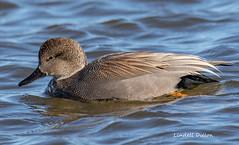 Gadwall (Lindell Dillon) Tags: gadwall duck waterfowl bird birding nature okc lakehefner oklaoma wildoklahoma