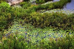 Waterlilies, Northern Ontario (klauslang99) Tags: klauslang nature naturalworld northamerica waterlilies ontario plants bog swamp water