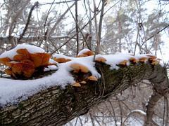 Mushrooms in the winter forest. (ALEKSANDR RYBAK) Tags: изображения грибы макро крупный план зима сезон погода природа лес дерево ветки яркий цвет снег мороз холод images mushrooms macro large plan winter season weather nature forest tree branches bright color snow frost cold