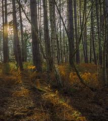 When the sun came through . (Through Bri`s Lens) Tags: sussex ashurst spithandlelane woods trees forest braken fern brianspicer canon5dmk3 canon1635f4 polariser
