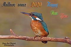Meilleurs vœux pour 2020 - Happy New Year 2020 (jean-lucfoucret) Tags: oiseau bird vœux happynewyear nouvelleannée martin pêcheur nikond500 nikon d500 nikkor200500f56 nikkor 200500f56 aves alcedo atthis common kingfisher france picardie aisne martinpêcheurdeurope martinpêcheur deurope martín pescador común guardarios eisvogel party fête