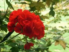 c'è anche un fiore ;-) (fotomie2009) Tags: geranio pelargonium red flower flora fiore autumn autunno leaves
