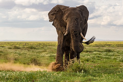 "Put Your Foot Down!  1L4A7920 (Dr DAD (Daniel A D'Auria MD)) Tags: elephants africanelephants bushelephants africa kenya amboseli amboselinationalpark tanzania serengeti maasaimara mara mammals wildlife ""largestanimal"" ""largestmammal"" wildlifephotography awardwinning danielad'auriamd"" ""drdadbooks"" ""children'swildlifebooksbydanield'auria"" ""danield'auria"" ""november2019"""