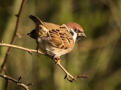 Tree Sparrow (Maria-H) Tags: treesparrow passermontanus martinmere wwt burscough lancashire uk olympus omdem1markii panasonic 100400