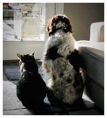 Watching for squirrels. (Gerry McDermott) Tags: spaniel catanddog