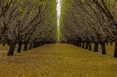 Almond trees, I think (j1985w) Tags: california hdr trees almonds orchard farm leaves fallcolor coalinga symmetry