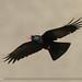 Red-billed Chough (Pyrrhocorax pyrrhocorax)