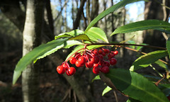 Bright red berries in the woods (Monceau) Tags: bright red berries cluster woods 364365 365picturesin2019 365the2019edition 3652019 day364365 30dec19 cmwdred